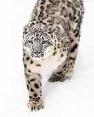 pic of snow-leopard  - A Snow Leopard Walking in the Snow - JPG