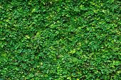 stock photo of climber plant  - Green tropical climbing plant covering a stone wall - JPG