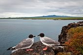 stock photo of swallow  - Couple of swallow tailed gull with the ocean in the background - JPG