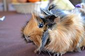 image of guinea pig  - guinea pigs brown pets Zvolen 19 - JPG