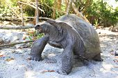 stock photo of tortoise  - Aldabra giant tortoise eats leaves. Island Curieuse in Seychelles. ** Note: Visible grain at 100%, best at smaller sizes - JPG