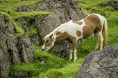 pic of iceland farm  - An Icelandic horse roaming free in west Iceland - JPG