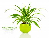 stock photo of plant pot  - green Chlorophytum plant in the pot evergreen perennial flowering plants in the family Asparagaceae subfamily Agavoideae - JPG