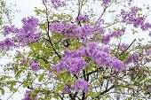 stock photo of crepe myrtle  - soft focus queen flower on tree in sunny day