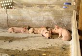 image of pig  - example of  pig in Thai stlye commercial pig farm - JPG