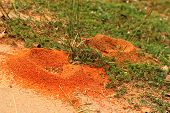 foto of fire ant  - Nest on green grass at the park - JPG