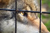 picture of caged  - wolf per cage sad eyes in zoo - JPG