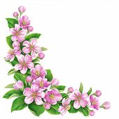 image of apple blossom  - Blossoming apple tree branch with pink flowers isolated on white - JPG