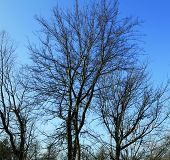 pic of tree trim  - Bare tree branches against a vivid blue sky - JPG