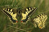 Photo of swallowtail butterfly, papilio machaon.