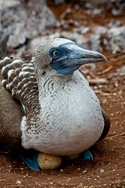 picture of boobies  - Blue footed booby nesting in the Galapagos Islands, Ecuador ** Note: Shallow depth of field - JPG