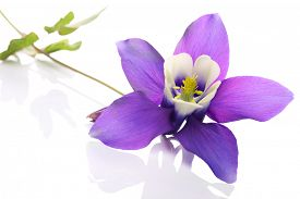picture of columbine  - Aquilegia flower commonly known as columbine or granny - JPG