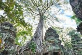 picture of raider  - Preah Khan famouse giant tree with ancient roots - JPG