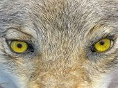 Yellow Wolf Eyes, Wild Animal Nature