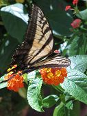 picture of lantana  - a delicate tiger butterfly posing on lantana blooms in the summer sun - JPG