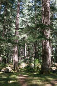 picture of himachal  - Beautiful deodar forest in Manali - JPG