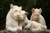 Постер, плакат: Female white lion with two newborn cubs The white lions are a colour mutation of the Transvaal lion