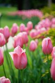 Niagara Tulips