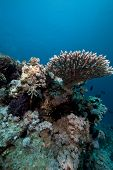 Acropora And Fish In The Red Sea. poster