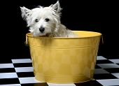 foto of westie  - west highland white terrier or westie - JPG