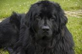 picture of newfoundland puppy  - A big black Newfoundland dog sits in the grass - JPG