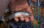 stock photo of brook trout  - Close - JPG