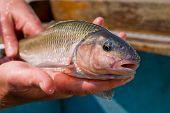 Vermont Fallfish 2