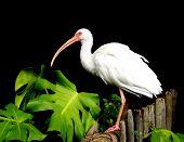 Ibis beautiful white topical bird