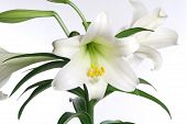 stock photo of easter lily  - Easter lily plant in bud and bloom isolated over white - JPG