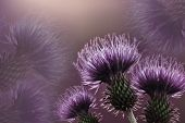 Floral  Purple Background. Purple Thorny Thistle Flower. A Violet Flowers On A  Light Purple  Backgr poster