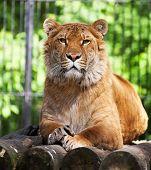 Siberian Liger