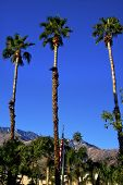 Fan Palms Trees American Flag Palm Springs California