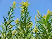 pic of winnebago  - Blooming Goldenrod at Colored Sands Forest Preserve in northern Illinois - JPG