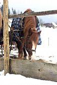 Horses In Sledding In Winter poster