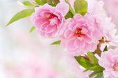Pink Flowers--Peach blossom