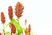 stock photo of sorghum  - Ripe red sorghum isolated on the white background - JPG