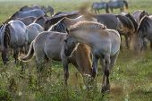 Herd Of Horses Grazing In A Meadow In The Mist. Horses In A Foggy Meadow In Autumn. Horses And Foggy poster