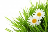 stock photo of daisy flower  - white daisy flowers in green grass - JPG