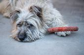 Sad And Lonely Pyrenean Shepherd (sheepdog) Laying On A Pavement With Her Toy: Shabby Foam Ring. Roo poster