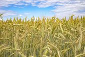 Barley Field With Ripe And Gold Barley Crops poster