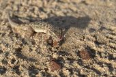 stock photo of hemidactylus  - lizard hemidactylus brokii camouflaged on sand opening a mouth - JPG