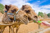 Couple Of Camels Feeding