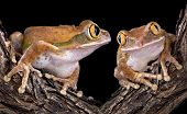 Big-Eyed Tree Frog Love