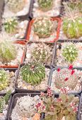 stock photo of sand lilies  - A group of different succulents in pots - JPG