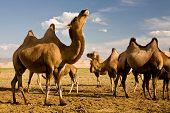 Camels At  Gobi Dunes