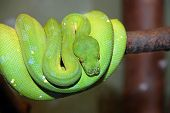 stock photo of green tree python  - Green tree python snake wrapped on a branch viridis chondropython - JPG