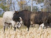 image of bull-riding  - Two large mean bulls fighting in a pasture - JPG
