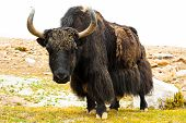 Close Up Wild Yak In Himalaya Mountains