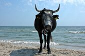 image of sea cow  - Cow herd resting at Black Sea side - JPG