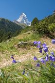 pic of harebell  - Matterhorn through harebell; focused on mountains; vertical composition